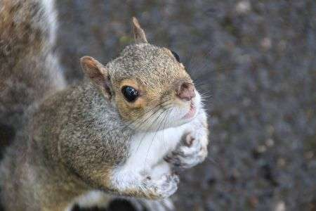 Grey squirrels' role as hosts of Lyme disease bacteria under the spotlight