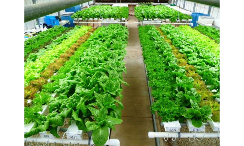 Growing high-value lettuce with 85 to 90 percent water savings