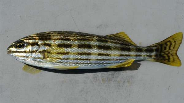 Grunter's life choices chronicled in fisheries study