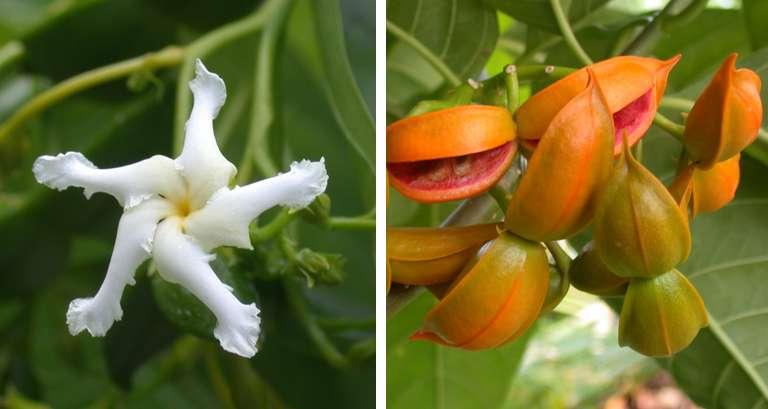 Guam research aids native trees