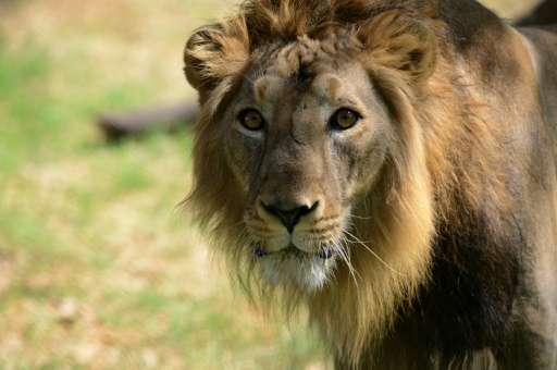 Gujarat is home to about 500 Asiatic lions in their last remaining sanctuary globally.