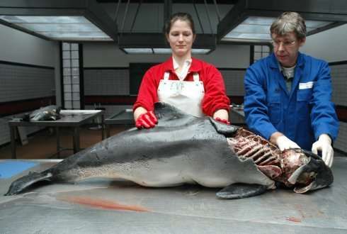 Harbour porpoises need large, oily fish