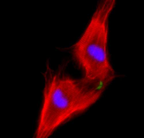 Heart cells regenerated in mice