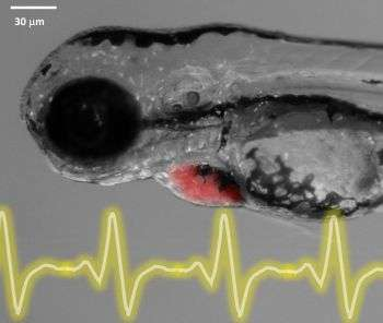 Highly sensitive sensors successfully map electrical patterns of embryonic heart