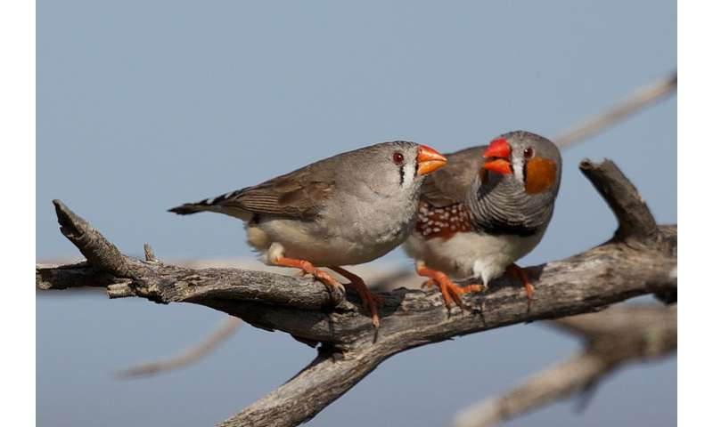 Holding out for 'the one' makes evolutionary sense, suggests lovebirds study