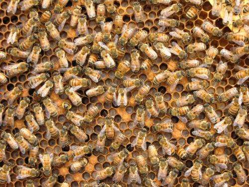 Honey bees use multiple genetic pathways to fight infections