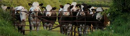 Hormonal treatment for cows could reduce global warming