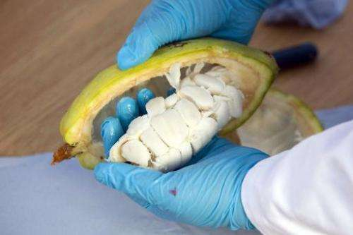 Horticultural technician Heather Lake takes cocoa beans from an opened cocoa fruit at the International Cocoa Quarantine Centre