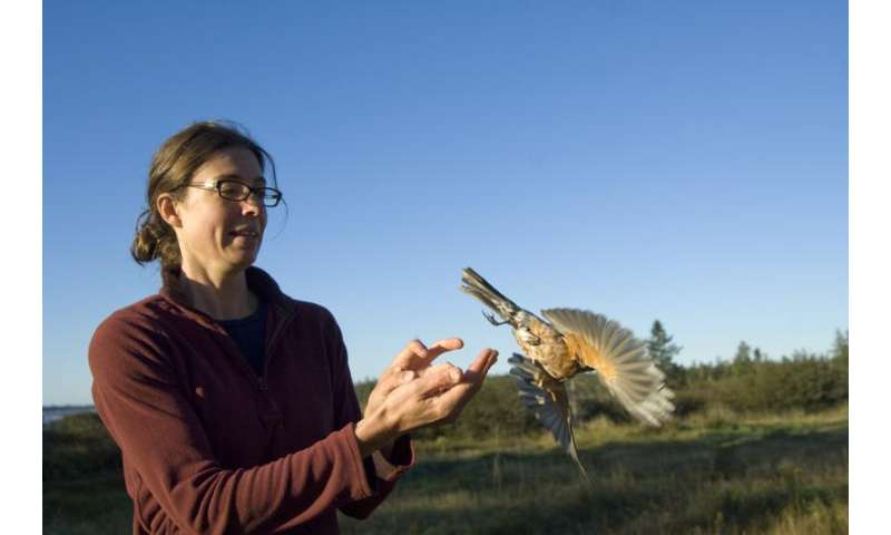 How do migrating birds avoid predators while fueling up?
