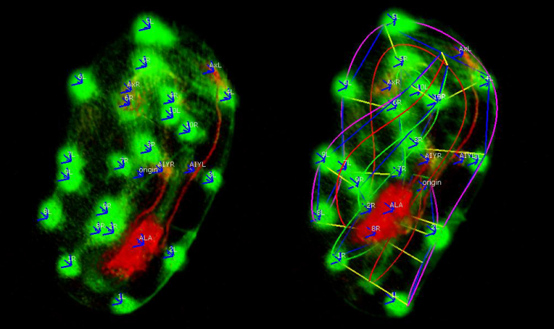 How is a developing brain assembled?