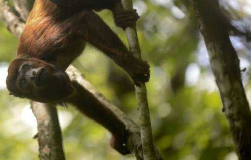 Howler is the biggest monkey of the Atlantic Forest after the spider monkey