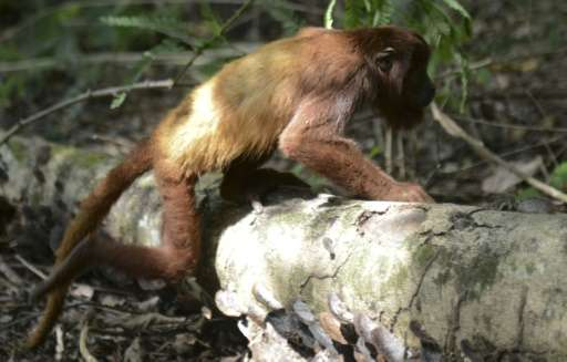 Howler monkeys are reintroduced to Rio de Janeiro's famed Tijuca forest after a century's absence