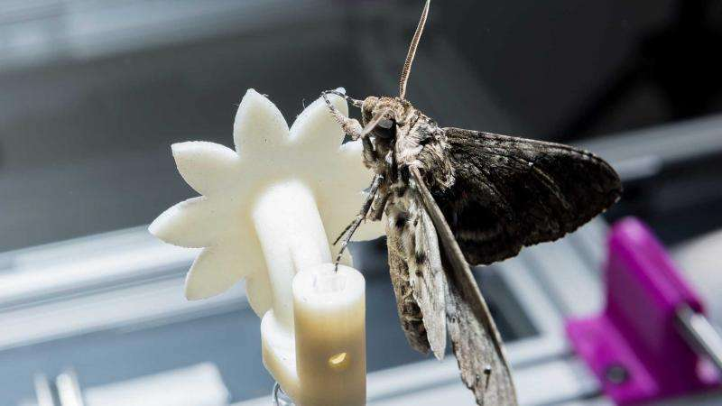 How moths integrate sensory and control information