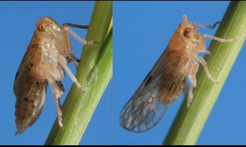 How planthoppers got their wings