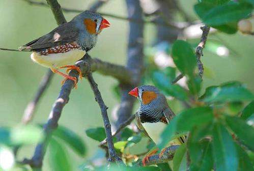 How songbirds may help build a better hearing aid