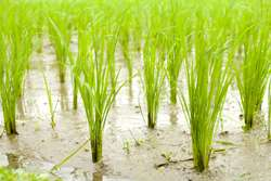 How space and sensory technology can boost rice production
