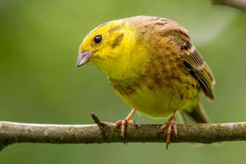 How the Yellowhammer became a Kiwi -- from hero to villain in 15 years