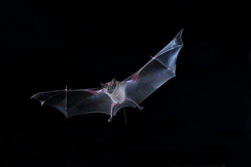 Hunting bats rely on 'bag of chips effect'
