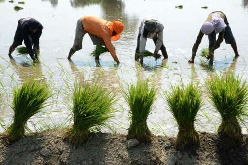 Indian labourers plant rice paddy cuttings in a field on the outskirts of Amritsar on June 16, 2015