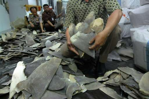Indonesian customs and quarantine officers inspect some 3,000 shark fins seized at the Soekarno-Hatta International Airport near
