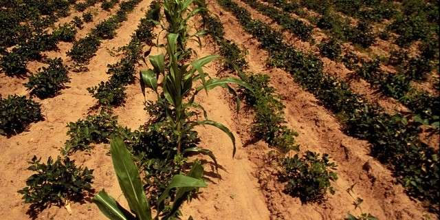 Intercropping for ecological and economic efficiency in agriculture