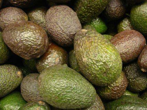 In the face of imminent arrival of avocado plague, scientist undertake preventive measures