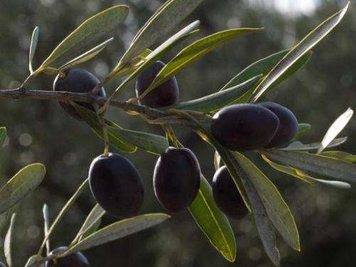 Italy's tradition of blessing olive branches on Palm Sunday should be ditched this year for fear of spreading a bacteria devasta