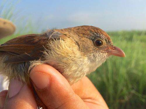 Jerdon's babbler once thought extinct is rediscovered