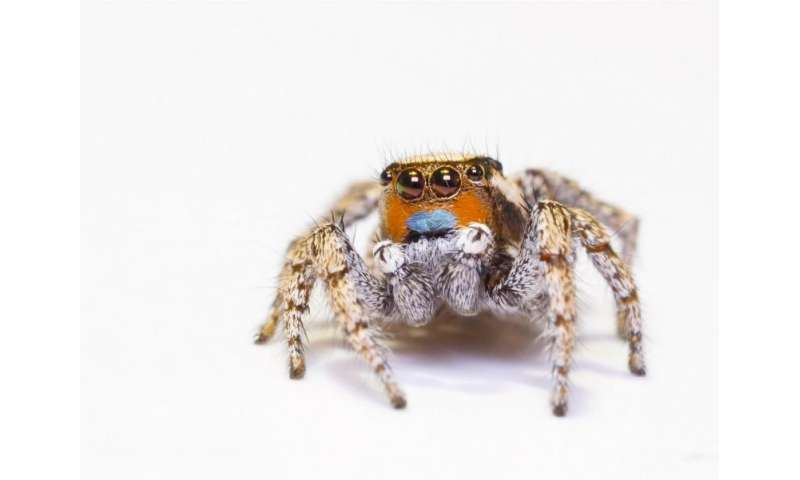 Jumping spiders are masters of miniature color vision