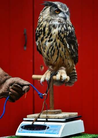 Keepers at London Zoo use ingenious tactics to entice the animals in their care to stand up and be measured