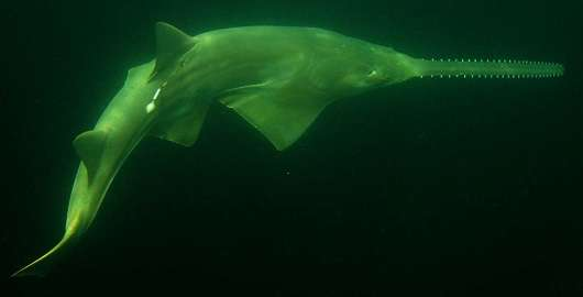 Key to survival for endangered smalltooth sawfish