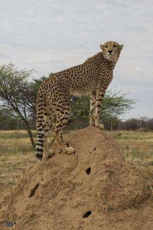 Khayjay stands on dirt mound