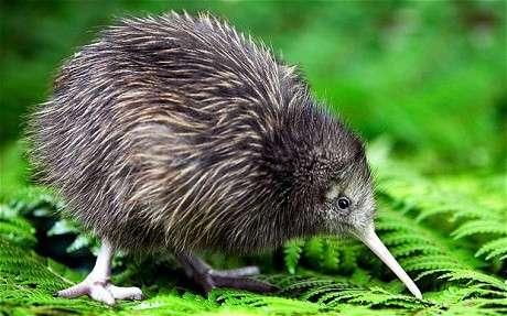 Kiwi bird genome sequenced