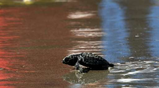 La Lora turtles hatchlings head to the sea after being released at a closed beach in Punta Chame, 110 km from Panama City on Nov