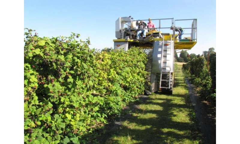 Liquid corn, fish fertilizers 'good options' for organic blackberry production
