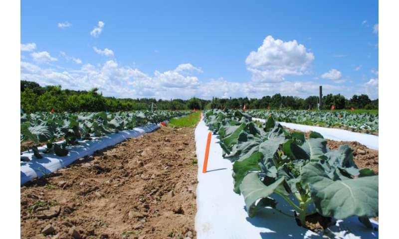 Living mulch, organic fertilizer tested on broccoli