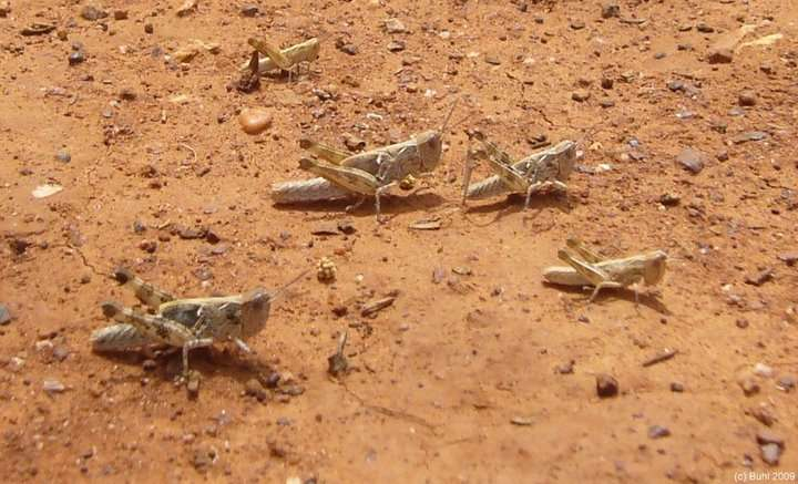 Locusts interact with several neighbours to swarm together