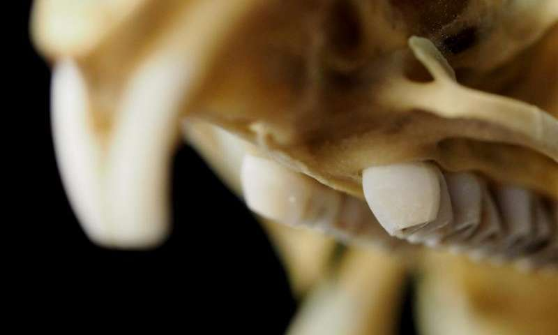 Looking to fossils to predict tooth evolution in rodents
