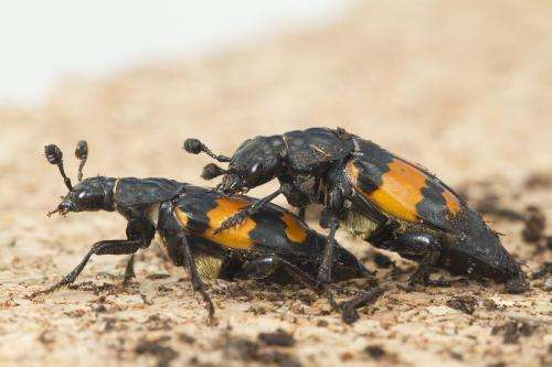 Love, love me do: Male beetles that have more sex are more insecure, study shows