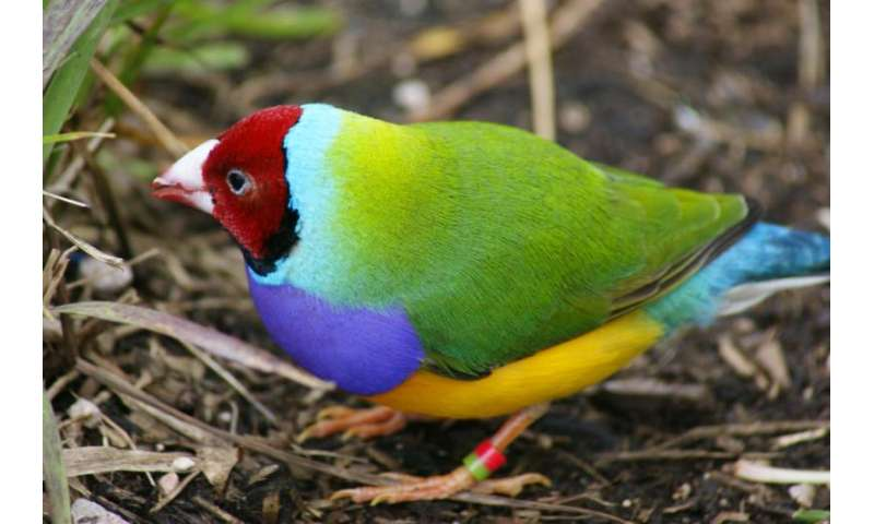 Low intensity burns favour Gouldian finches