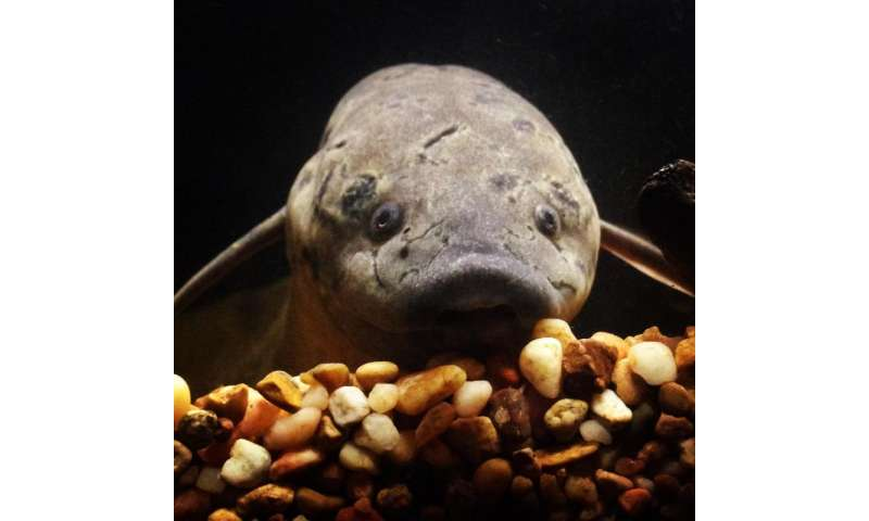 Lungfishes are not airheads