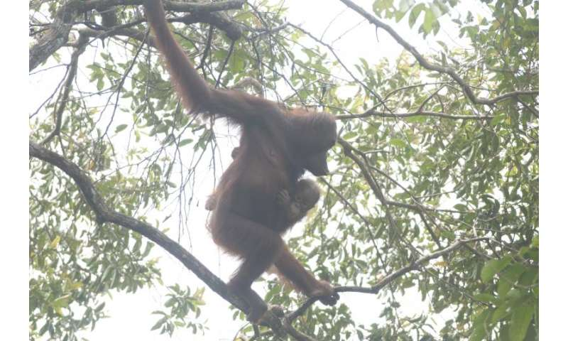 Malaysia announces sweeping new protections for orangutans