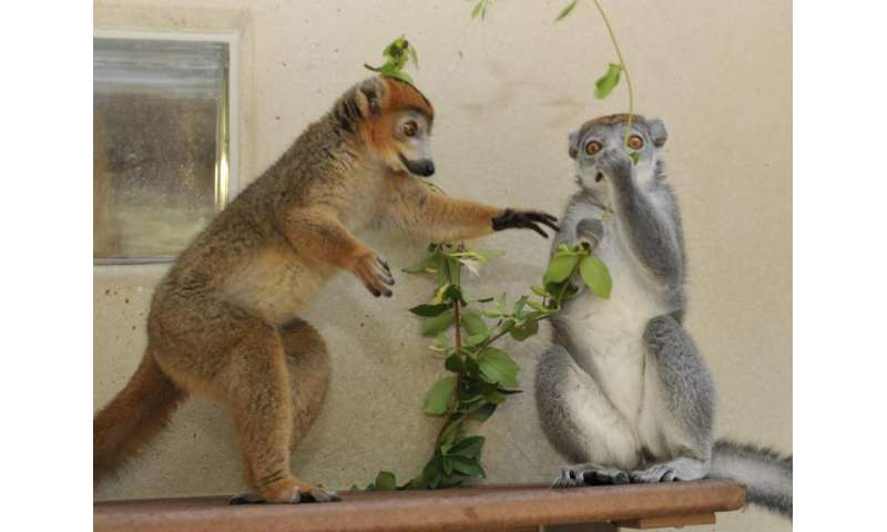 Male hormones help lemur females rule