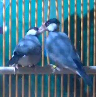 Male Java sparrows may 'drum' to their songs