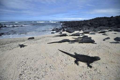 "Marine iguanas in ""Playa de los Perros"" (Dogs Beach) on Santa Cruz island in the Galapagos Archipelago, on July 16, 20"