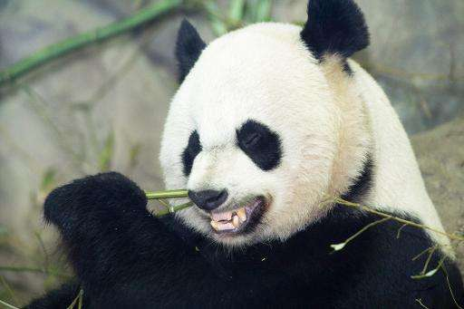 Mei Xiang eats a bamboo breakfast on January 6, 2014 inside her glass enclosure at the Smithsonian's National Zoo in Washington,