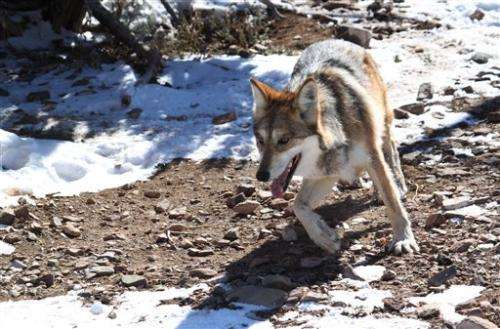 Mexican gray wolf population peaks in American Southwest