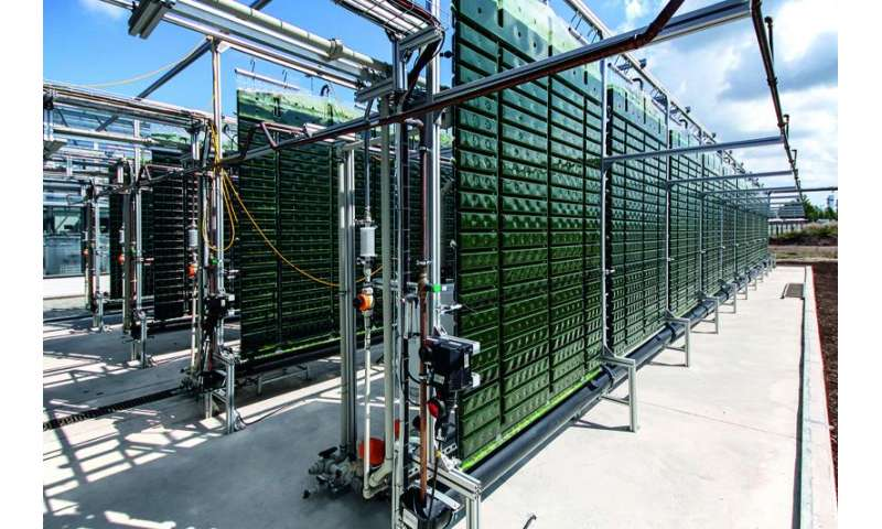 Microalgae produced on a commercial scale