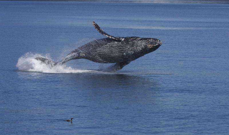 Migrating humpbacks face double blow from human activity