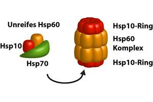 Molecular chaperones help with folding